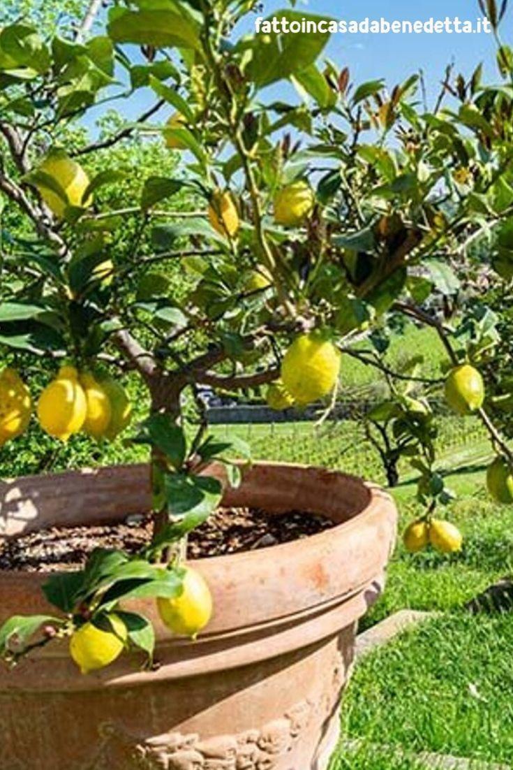 Alberi Nani Da Giardino come coltivare le piante di limoni in vaso nel 2020