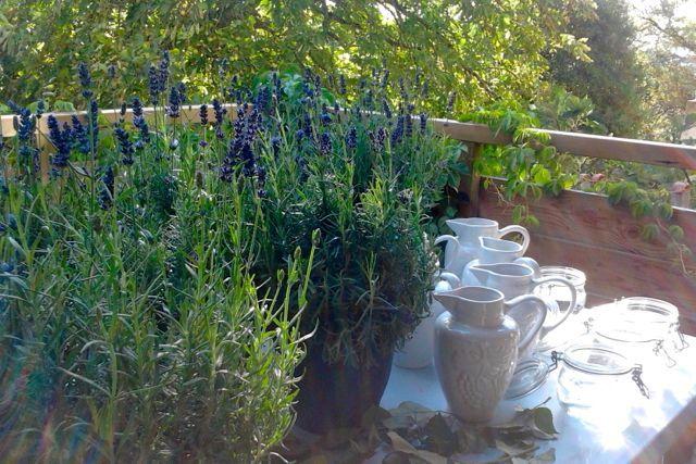 Lavender pots on the back terrace.