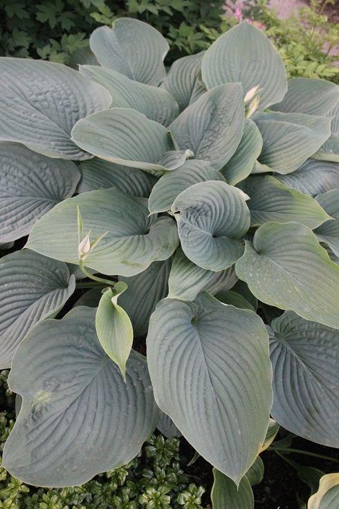 Hosta Empress Wu Pp 20774 Garden Hosta Plants Plants Dry