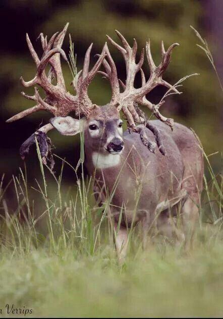 Pin By Hugo Delvalle On Navidad Big Deer Whitetail Deer Pictures Deer