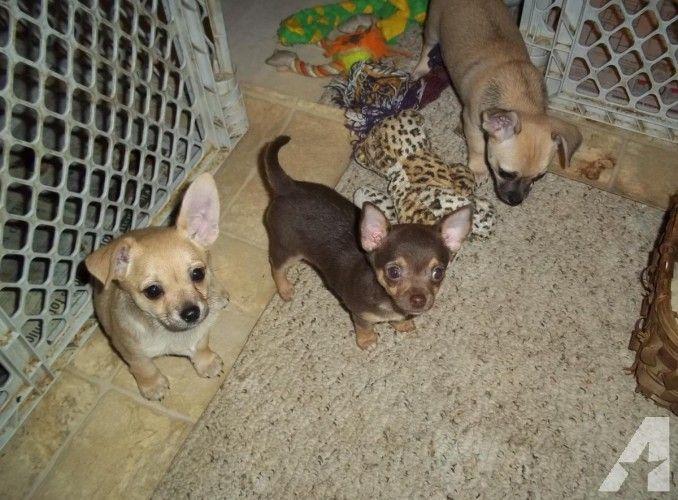 Chihuahua Puppies Pets And Animals Chihuahua Puppies Puppies