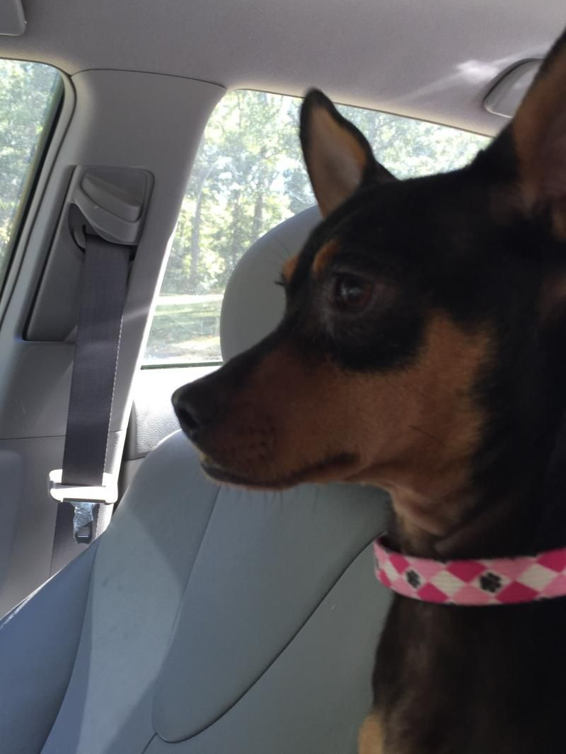 Adopt Jackie On Things I Love Adoption Miniature Pinscher Pets