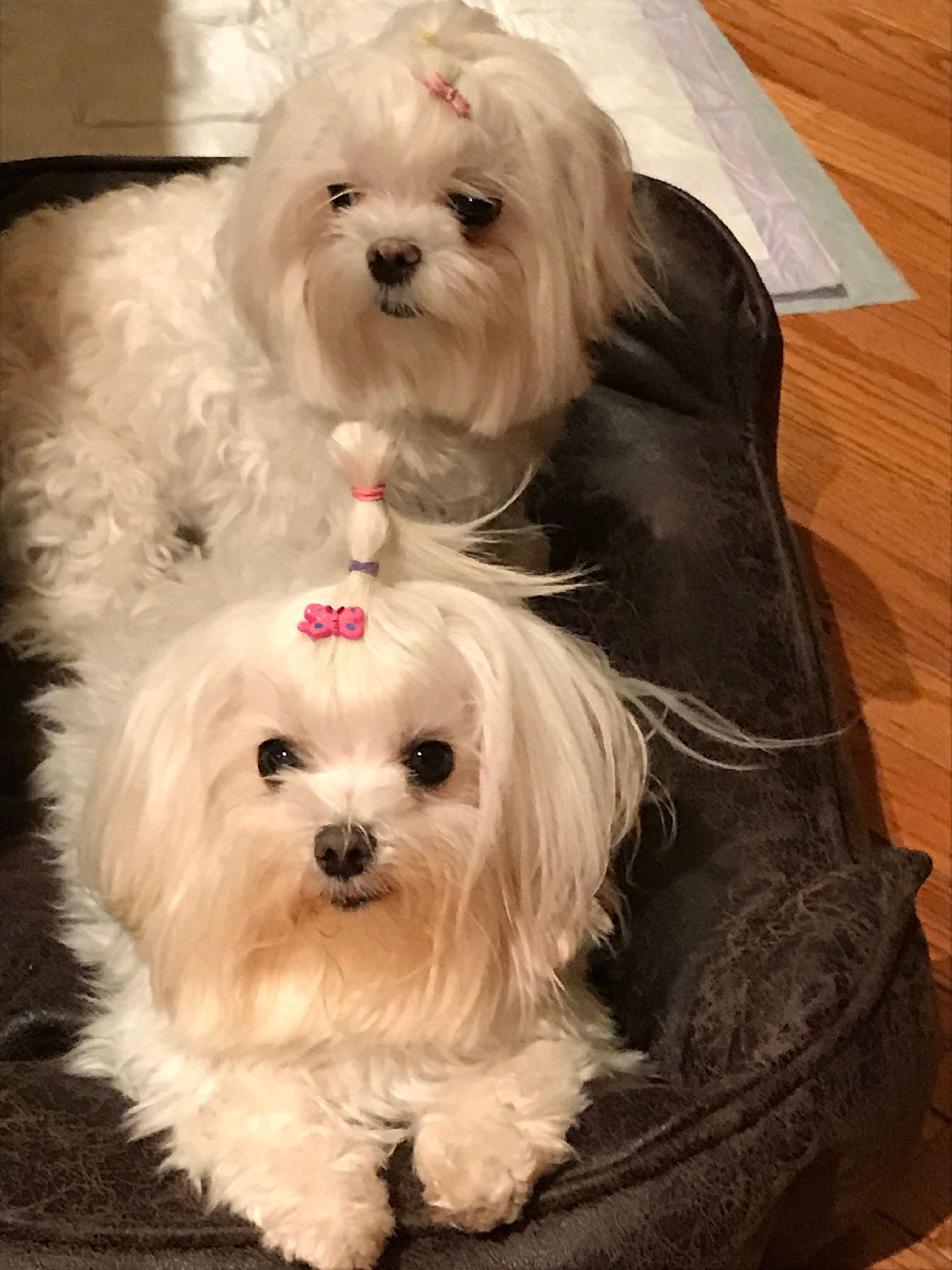 Maltese!! (mit Bildern) Hunde, Malteser, Lange haare