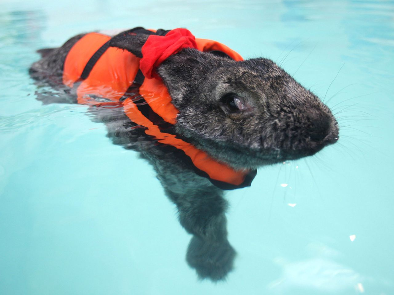 water rabbit heidi heals with hydrotherapy bunny animal and rabbit