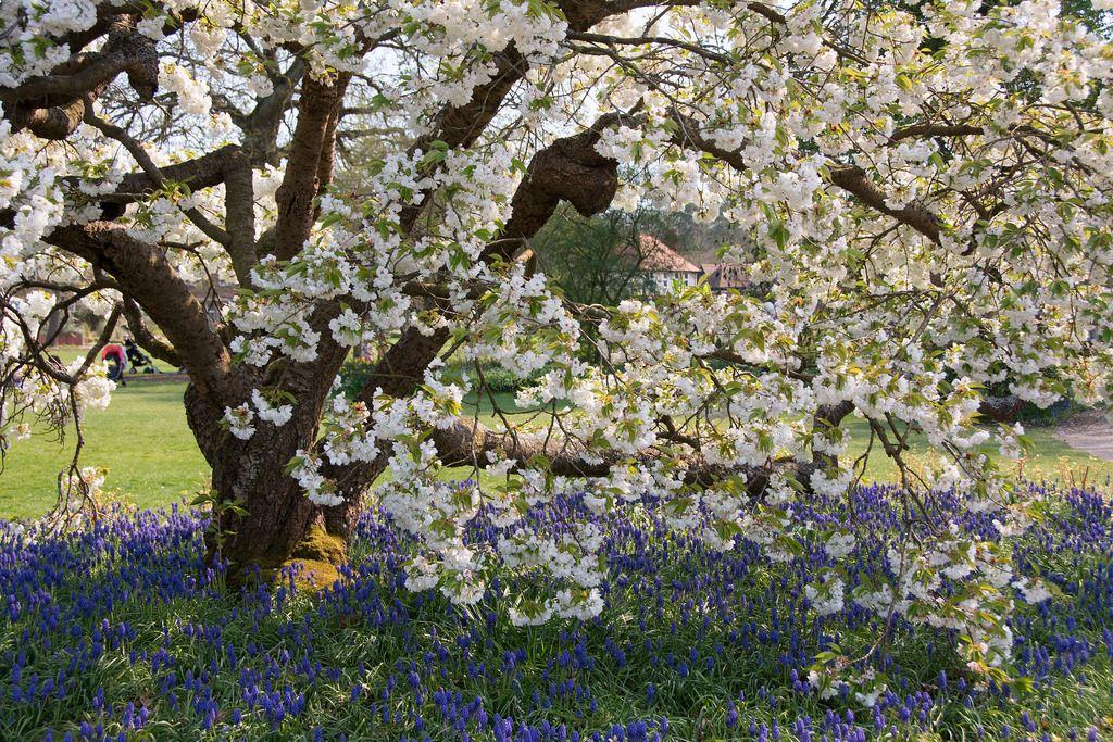 Prunus Shirotae At Rhs Wisley Prunus Rhs Photo