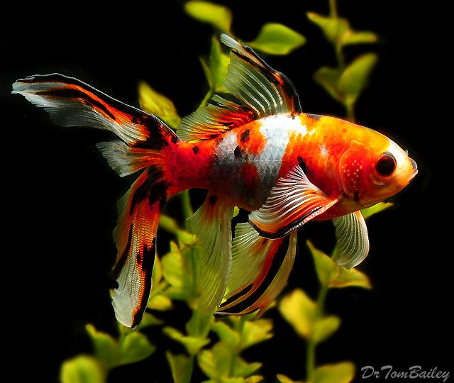 Shubunkin for sale the loveable goldfish pinterest for Outdoor goldfish for sale