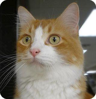St Paul Mn Domestic Mediumhair Meet Colorado A Cat For Adoption Cat Adoption Kitten Adoption Orange Cats