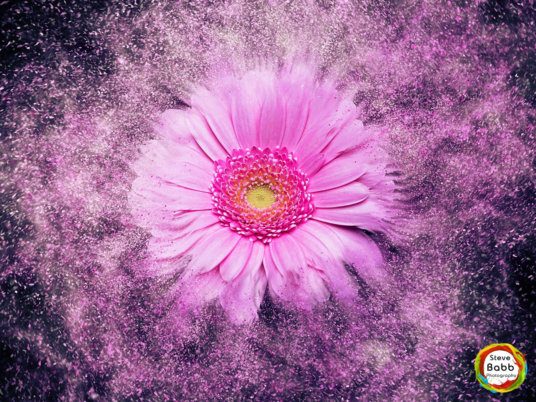 Purple chrysanthemum explosion explosions pinterest chrysanthemums