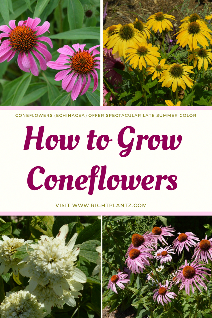 How To Grow Coneflowers Coneflowers Echinacea Offer Spectacular Late Summer Color What Started On The Pr Flower Landscape Beautiful Flowers Garden Plants