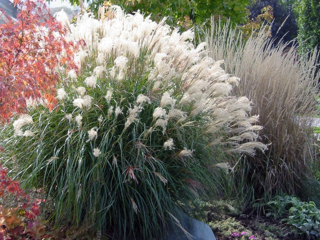 Texture miscanthus waterwise approach pinterest plants seeds