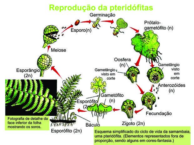 As pteridófitas podem se reproduzir de forma assexuada por - fresh grupos de la tabla periodica unam