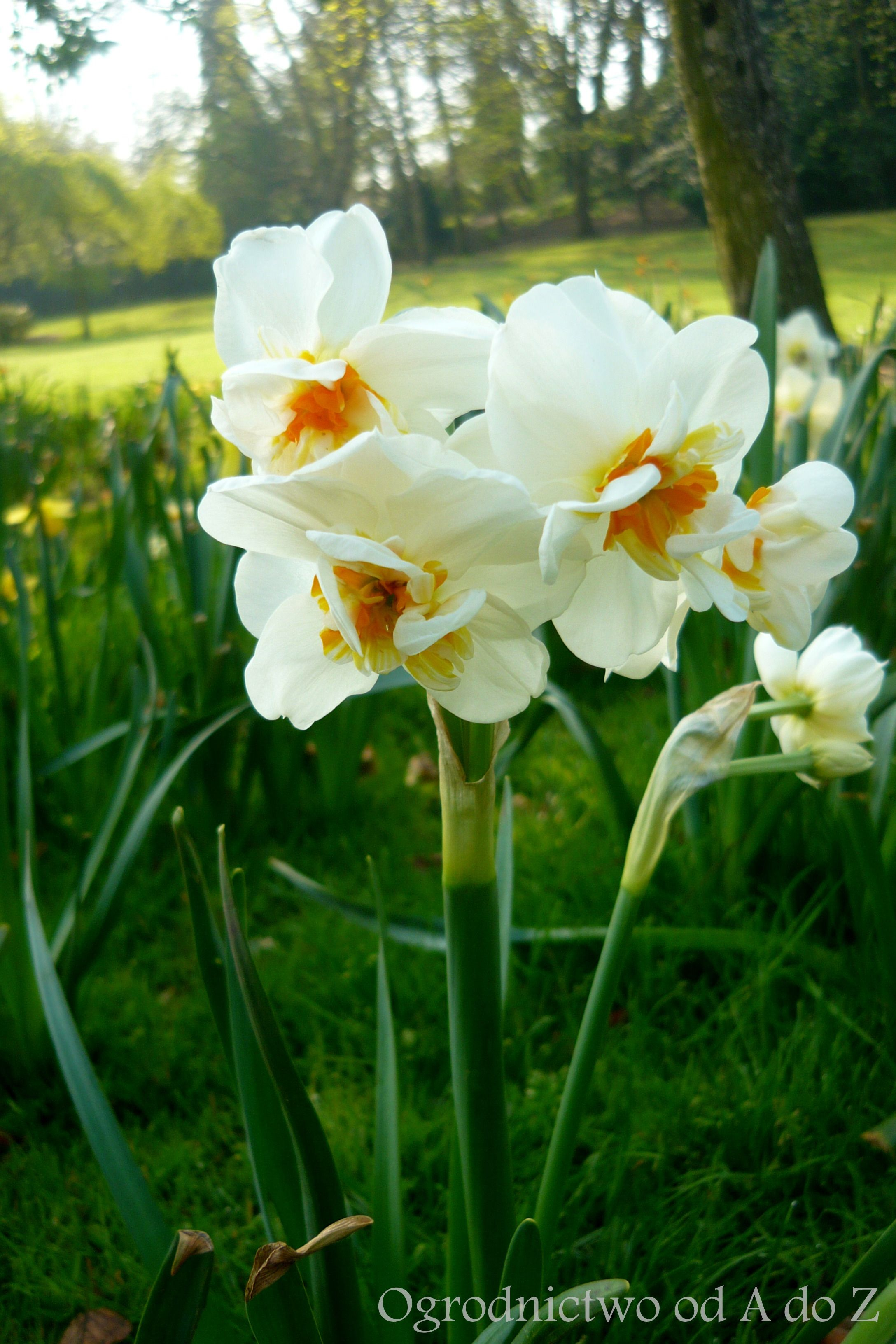 Narcyz Narcissus White Gardens Flower Images Bunch Of Flowers