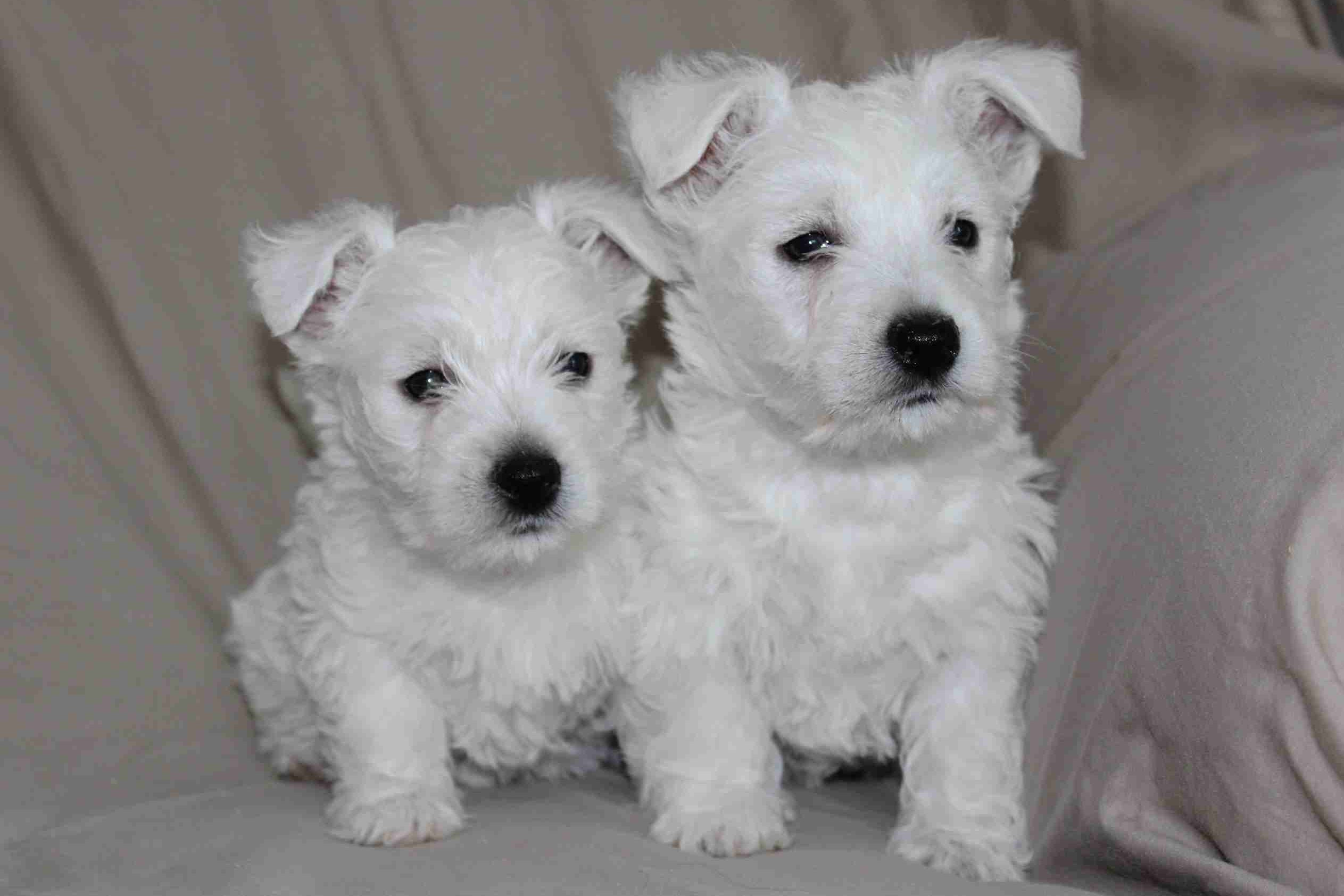 Holly Stellitano Has West Highland White Terrier Puppies For Sale