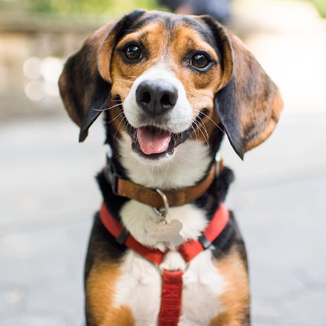 Gravity Beagle 6 Y O Central Park New York Ny Beagle Dogs