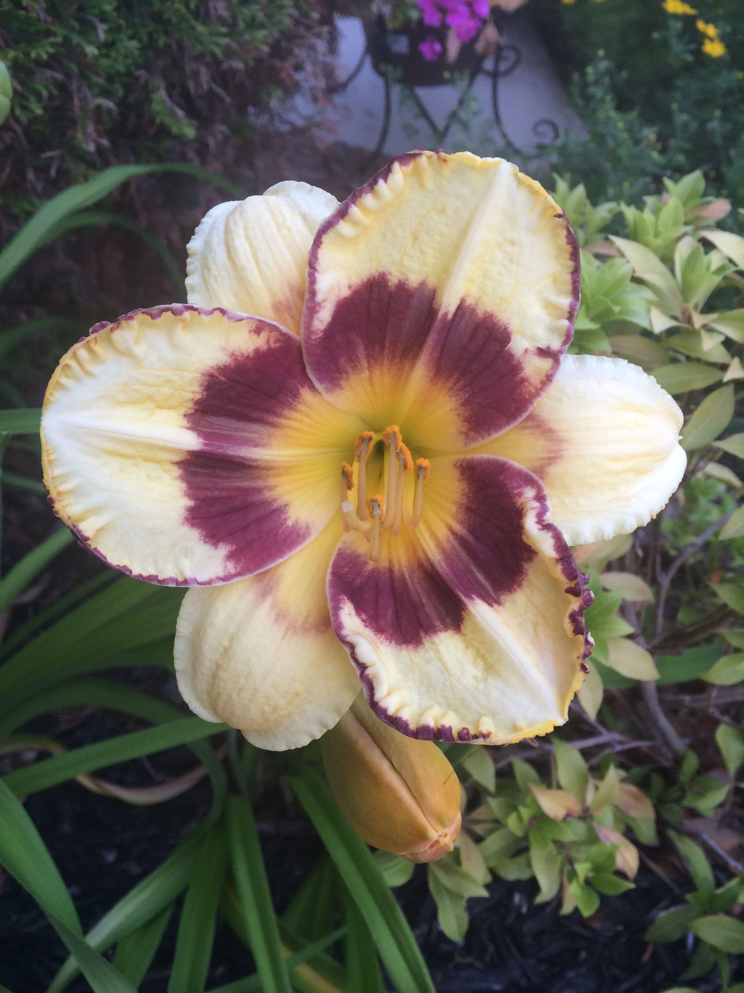 Daylily Flowers Pinterest Flowers