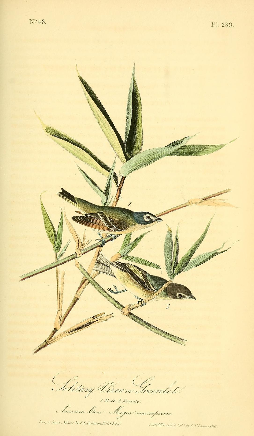 1842, v 4 - The birds of America :John James Audubon - Biodiversity Heritage Library - Solitary Greenlet
