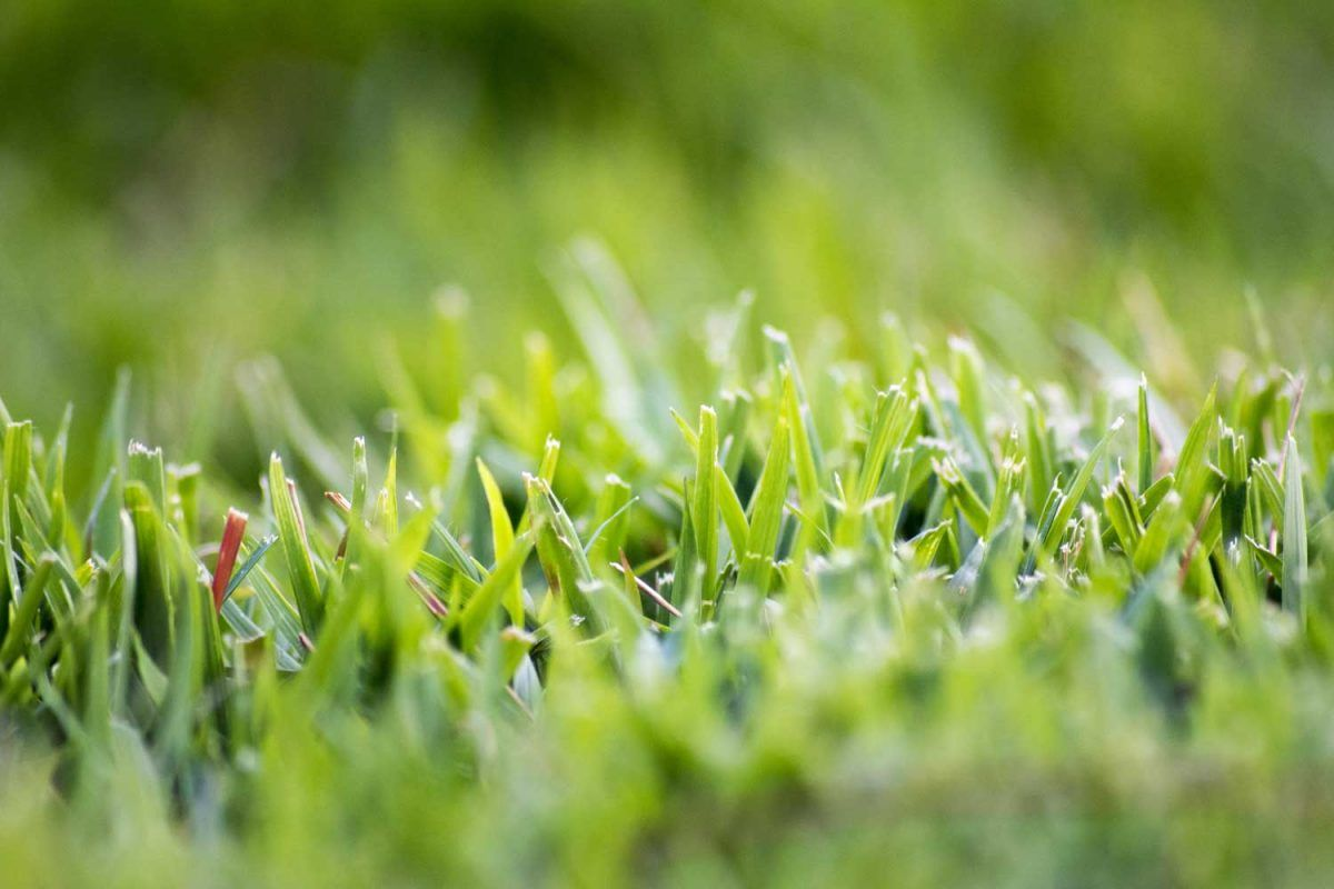 Pin by OGM Landscape on Turf Grass St augustine grass