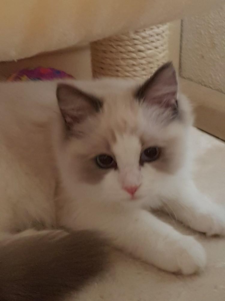 Prachtige Blue Bicolor Ragdoll Poesje Te Koop Katten En Kittens Raskatten Langhaar Marktplaats Nl Katten En Kittens Katten Poesje