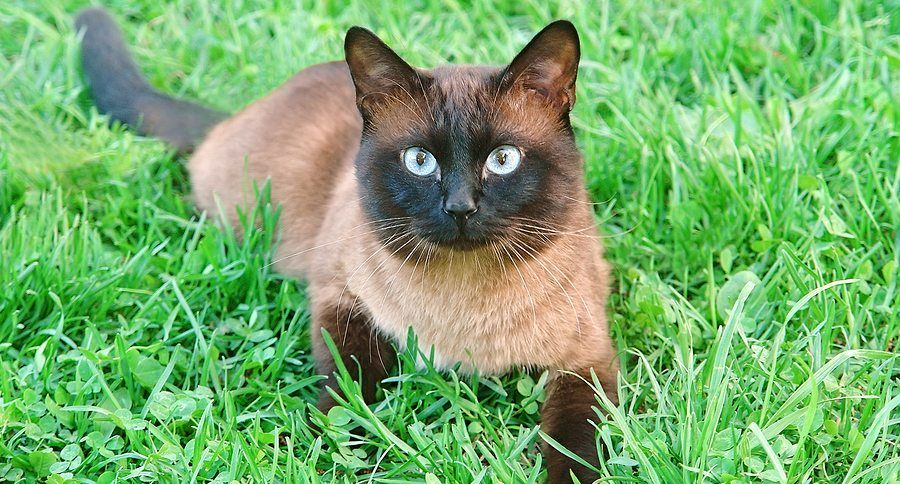 Flame Point Siamese What You Need to Know About This