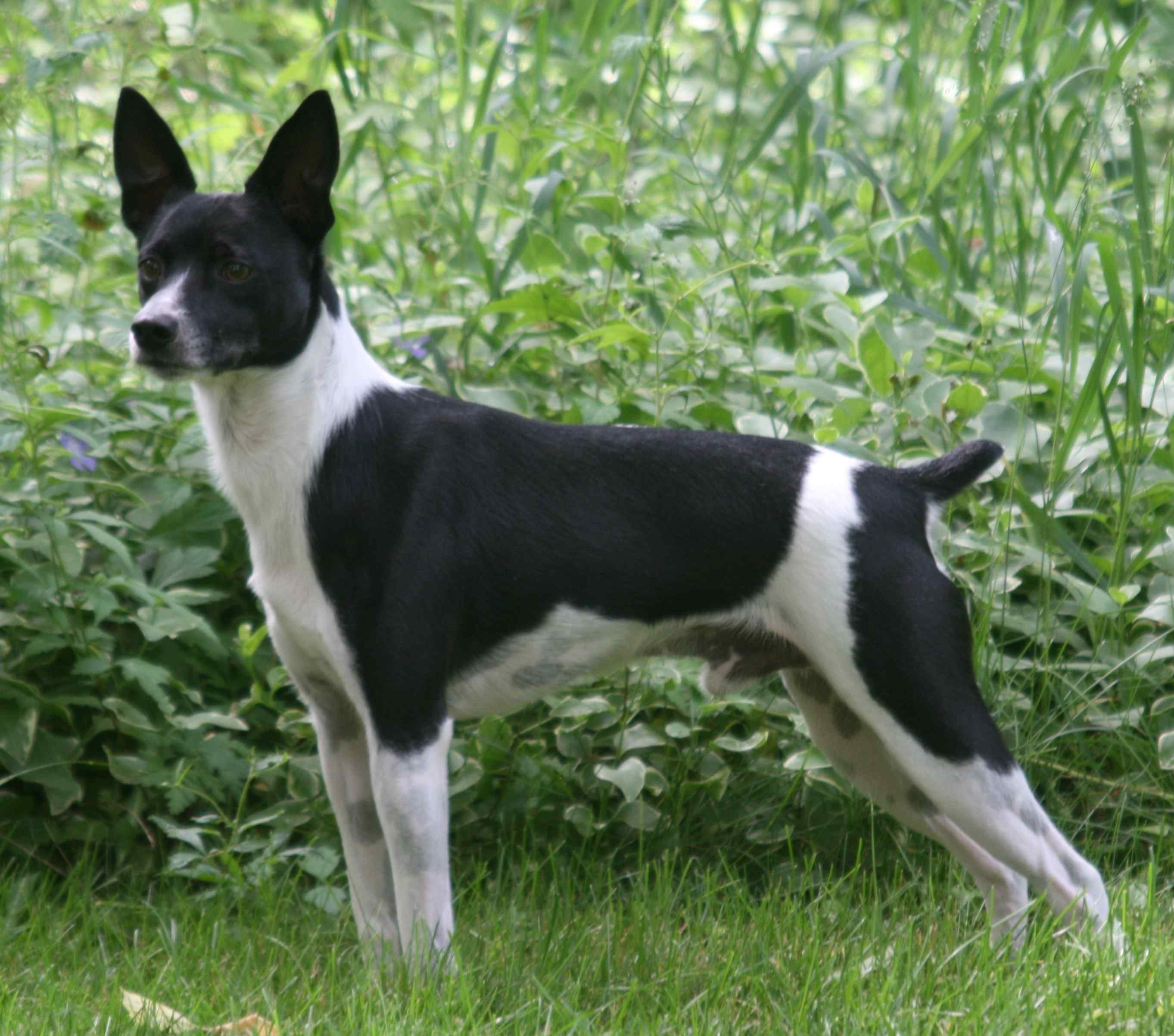 Rat Terrier Photos And Wallpapers The Beautiful Rat Terrier Pictures Page 2328 Rat Terrier Dogs Rat Terriers Terrier Breeds