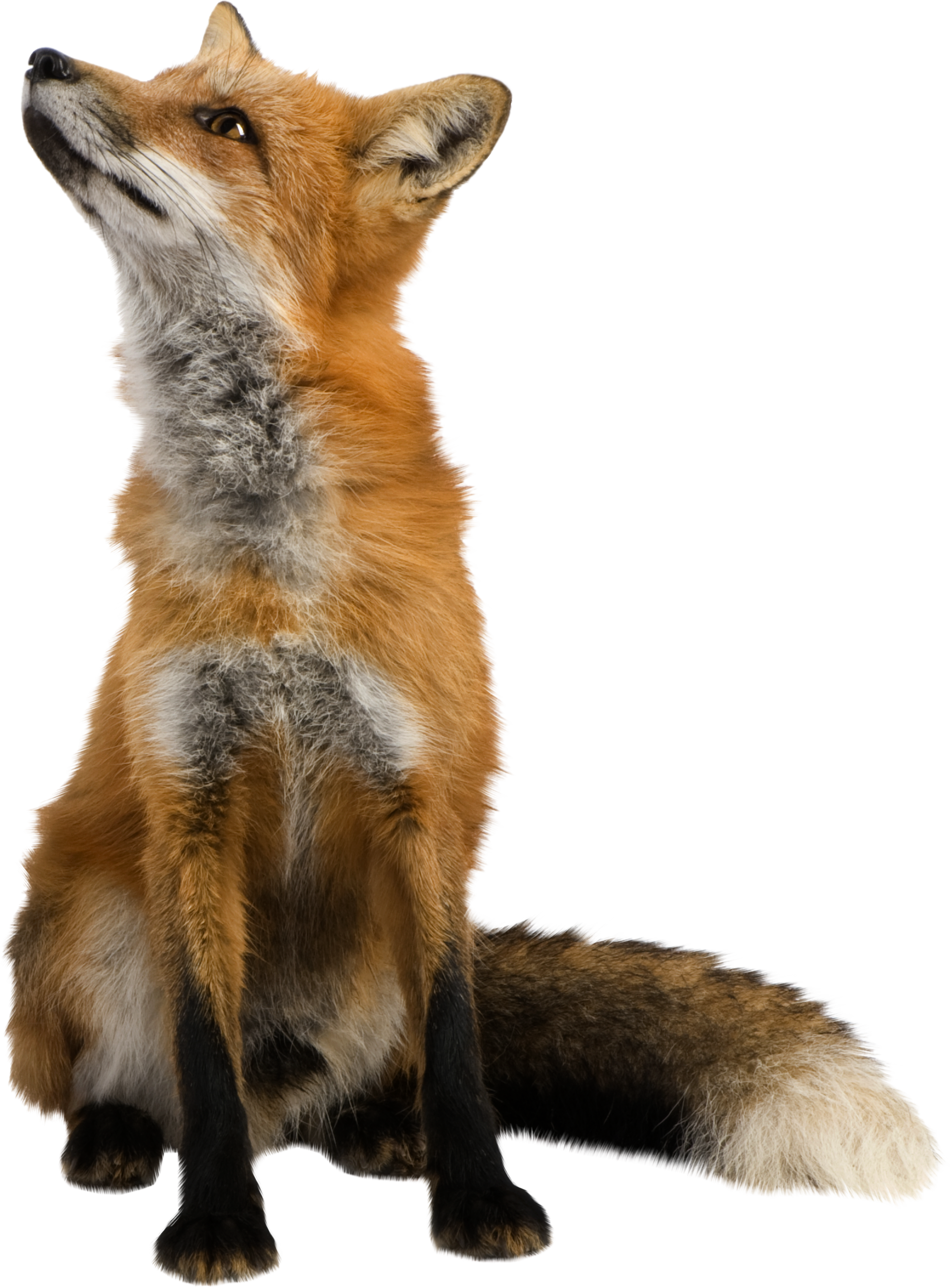 fox png image, free download picture | Fotomontagen | Pinterest ...