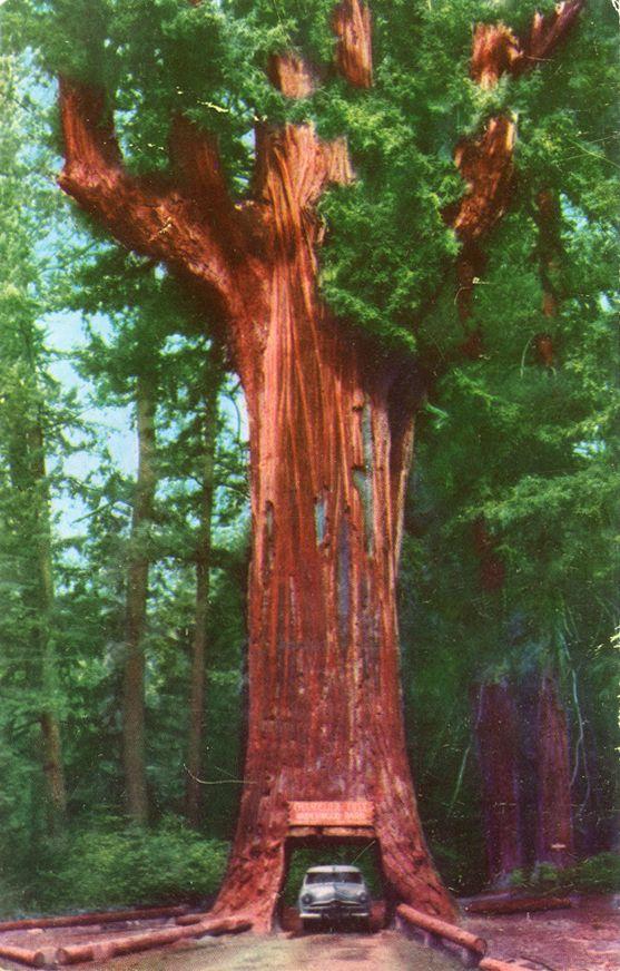 Chandelier Drive Through Tree, Underwood Park, California ...