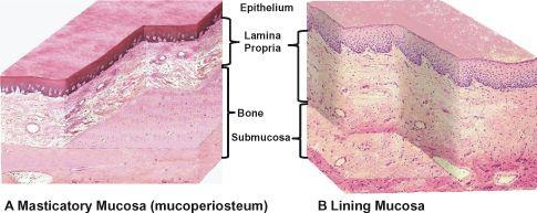 Mucoperiosteum