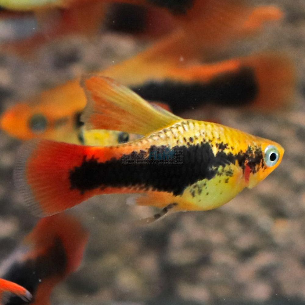 Pin By Aquascaping Page On Variatus Fresh Water Fish Tank Aquarium Fish Platy Fish