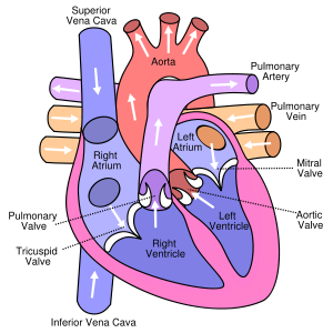 How the heart works always learning pinterest school gcse diagram of the human heart cropped circulatory system wikipedia the free encyclopedia ccuart Image collections