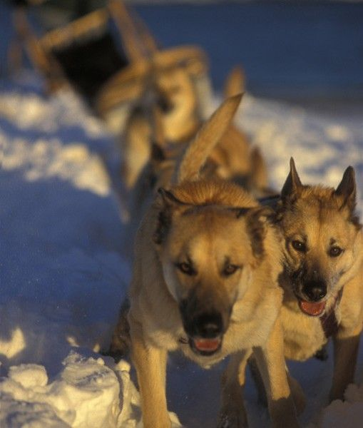 Breed Chinook Stats This Rare Breed Of Sled Dog Can Weigh Up To