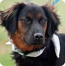 Image Result For Dalmatian Springer Unique Dog Breeds Hybrid Dogs Cocker Spaniel Mix