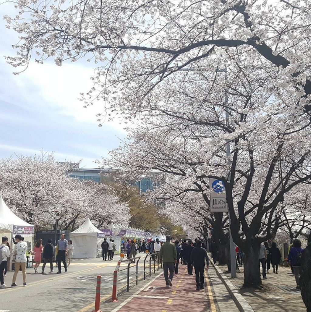 Top 5 Cherry Blossom Festivals In South Korea In 2017 Cherry Blossom Cherry Blossom Festival Blossom