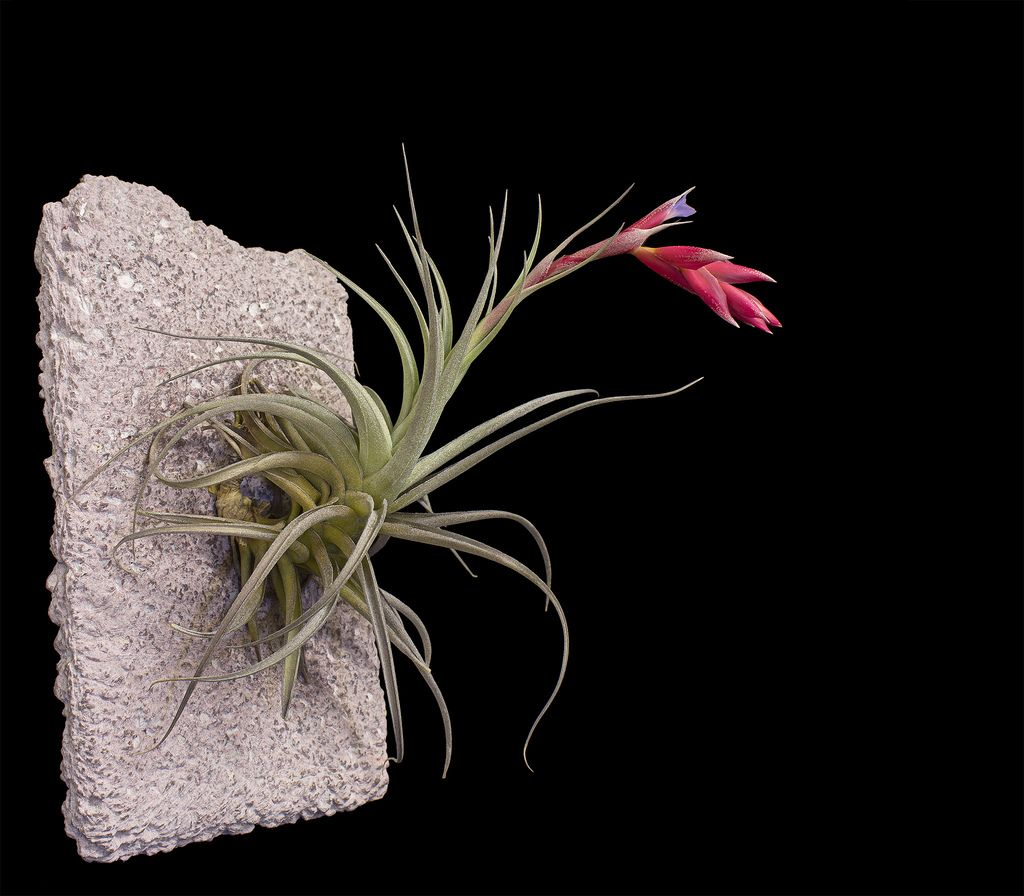 All sizes | Tillandsia recurvifolia var. subsecundifolia (iii) | Flickr - Photo Sharing!
