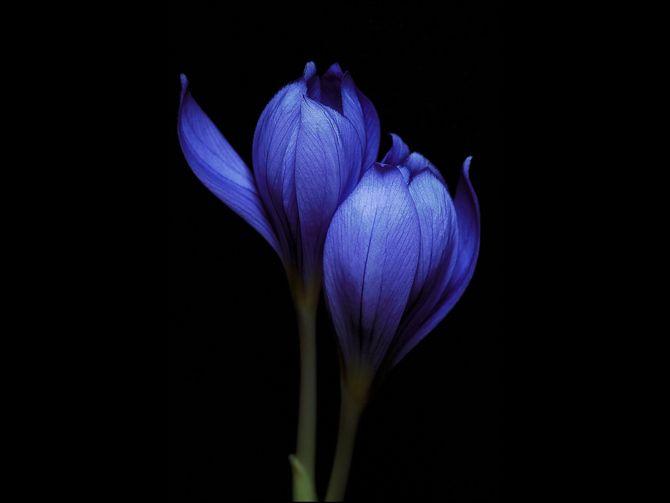 Lieblings Blaue Krokusse auf schwarzem Hintergrund! #Fotografie #Makro @JM_99
