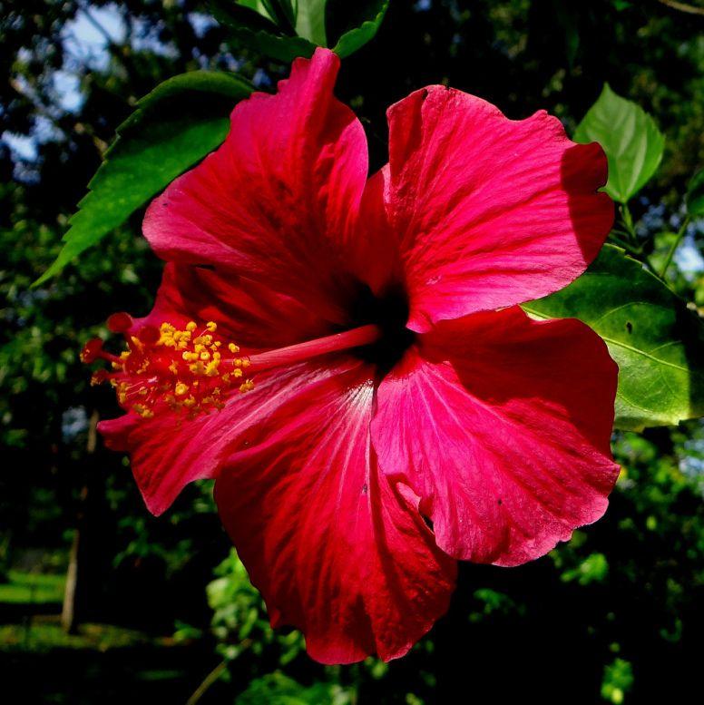 Hibiscus Rosa Sinensis Kitajskaya Roza Detox Water Jillian Michaels Jillian Michaels Detox Hibiscus Rosa Sinensis
