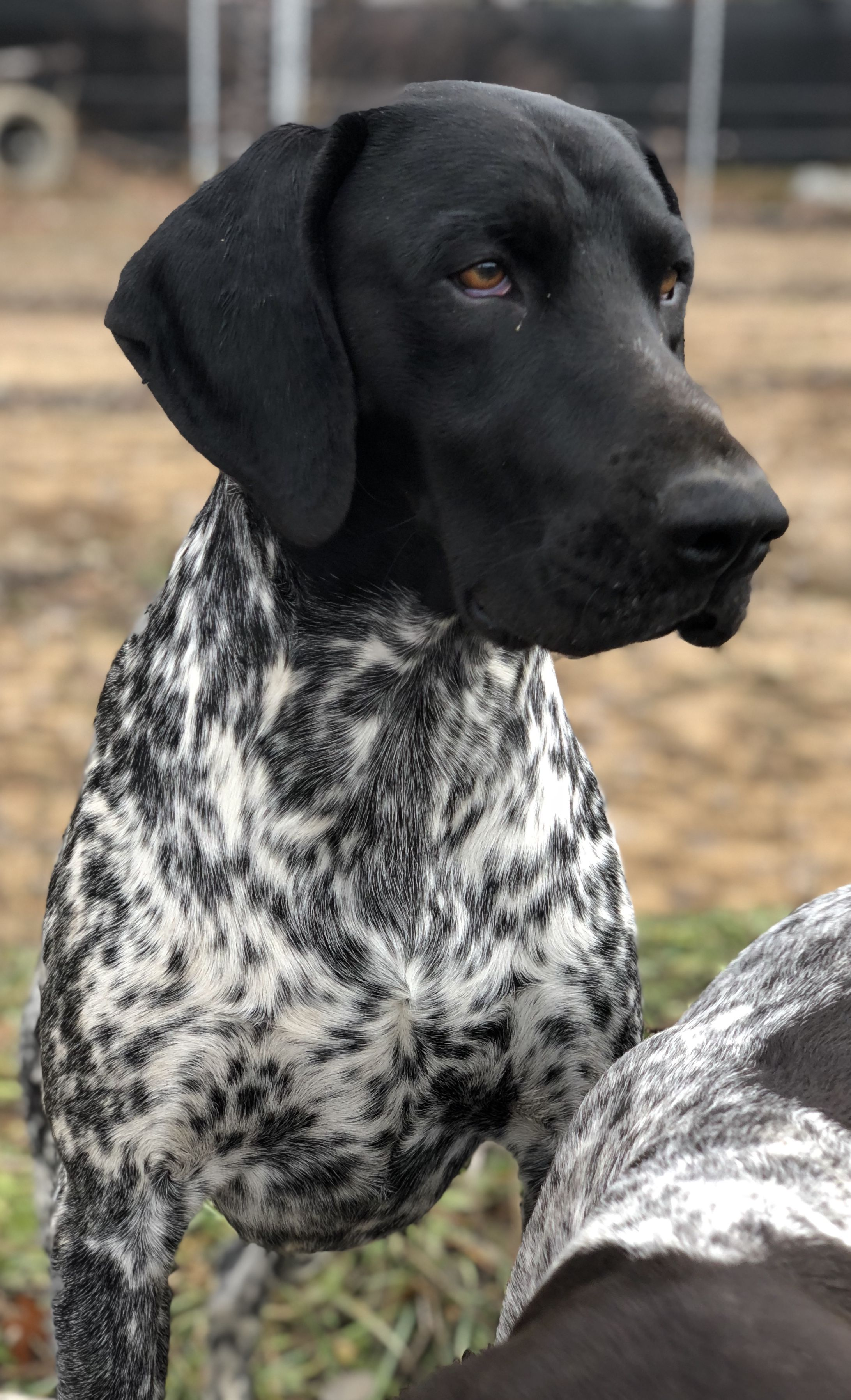 2 Year Old Cole Black And White German Shorthair Pointer German Shorthaired Pointer Dog Pointer Puppies German Shorthair