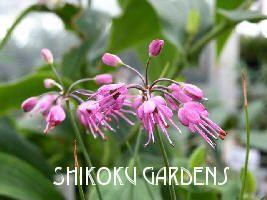 Allium Splendens Var Kurilense Dwarf Pink Glittering Onion Allium Plants Perennials
