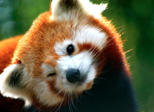 Wild Breaths, Red Panda, Cute, Firefox