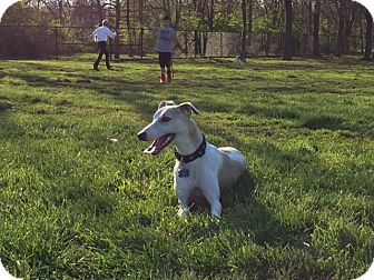 Frederick, MD Whippet. Meet Blue, a dog for adoption