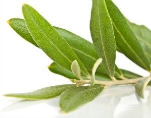 Organic Olive Tree Leaves for Tea Brewing | Loose Dried ...
