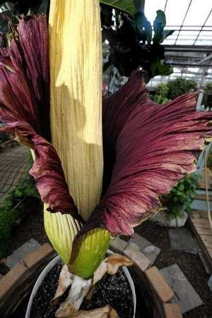 Rare Corpse Flower Bloom Soon At Michigan State