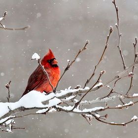 Photo Cardinal by Beth Anthony on 500px