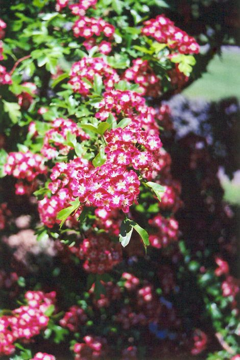 Crimson Cloud English Hawthorn Crataegus Laevigata Superba At Connon Nurseries Cbv Plants Deciduous Trees Clouds