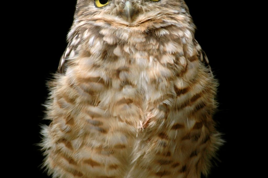Burrowing #owl .
