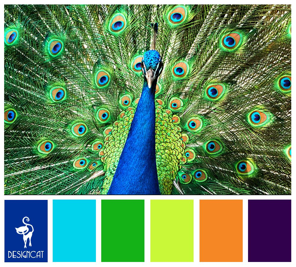 Peacock: Royal, Blue, Tiffany, Green, Lime, Orange, Purple ...