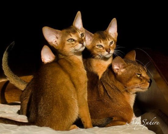 Abyssinian cats ...the cats which act like dogs :)