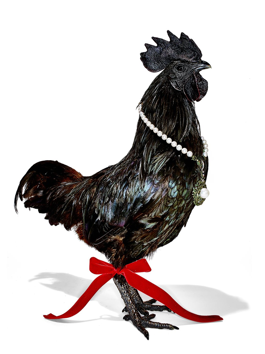 ayam cemani chicken wearing chanel for new york magazine