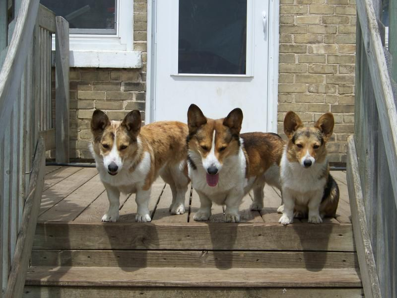 Corgi Breeders In Wi Cedar Ridge Corgis Kewaunee Wi 54216 Corgi Puppies For Sale Corgi Puppies For Sale