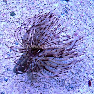 Feather Duster My Favorite Underwater Plant When You Move Your Hand Near It It Pulls All It S Feathers Int Underwater Plants Saltwater Tank Feather Duster