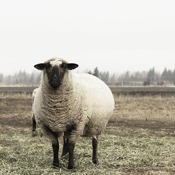 Schafe Fotografie Ewe Fotografie Französisch Land Dekor Tierfotografie auf Etsy, 14,87€